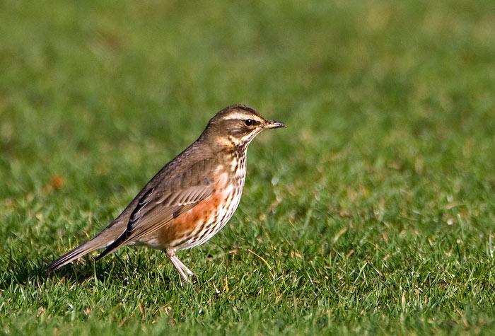 Koperwiek , Turdusiliacus / Redwing: http://www.birdphoto.nl/vogels/Koperwiek.htm