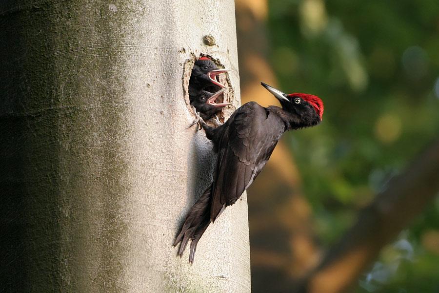 http://www.birdphoto.nl/vogelfoto/Zwarte-specht-(male).jpg
