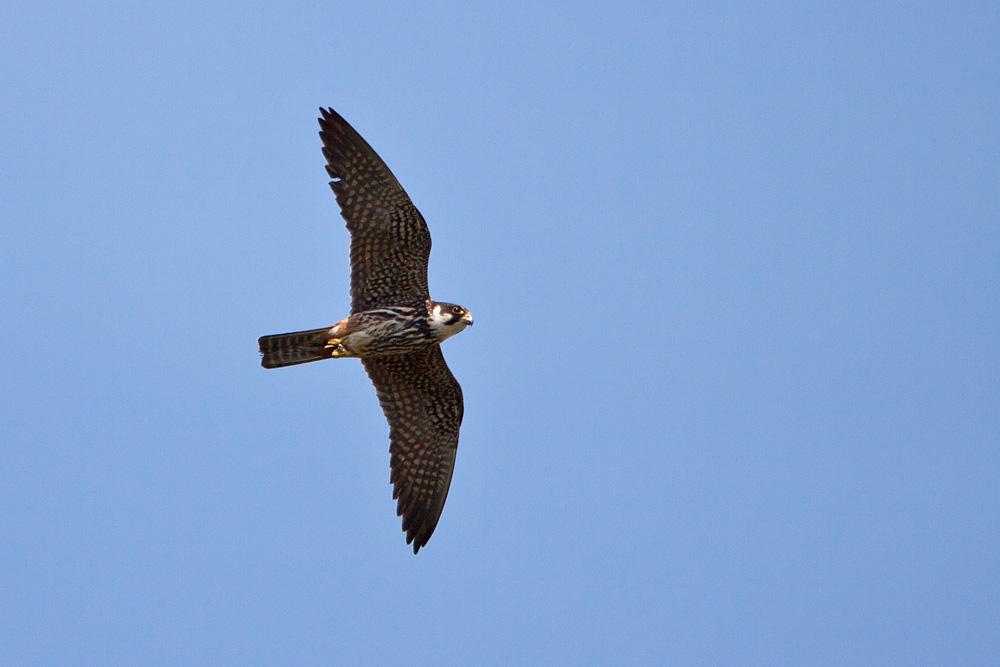 Boomvalk Falco subbuteo ssp subbuteo  Beschermde
