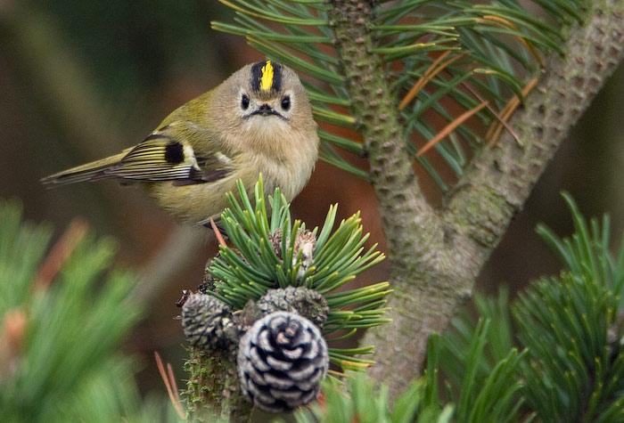 Лишь в западном полушарии есть птицы меньше корольков - колибри.